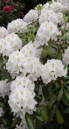 Rhododendrons - State Flower