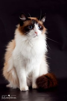 I think ragdoll cats are one of the prettiest breeds of cats I've seen so far. Love the noses!