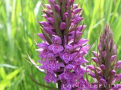 """Orchideeën komen soms vanzelf """"aanwaaien"""". Blijkbaar vond deze de nattige plek bij de natuurvijver in de tuin bij ons tuinontwerp bureau perfect."""