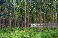african mahogany trees - Google 検索