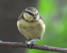 juvenile blue tit - more pictures on the lin