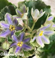 LE-Sapfira (ЛЕ-Сапфира) E. Lebetskaia. Light blue bells with wide green sides and dark-blue stripes in the center of each petal. Dark-green foliage with pink/white variegation. Standard. #AVSA #Africanviolet #saintpaulia #LESapfira #africanvioletsocietyofamerica #Africanviolets #violetoftheday #violets #geneseriads #gesneriaceae Outdoor Plants, Air Plants, Saintpaulia, 5 Image, Houseplants, Blue Stripes, Pink White, Orchids, Succulents