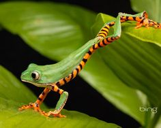 Japan - tree frog -