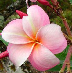 Tillie Hughes Plumeria Cutting, Maui Plumeria Gardens