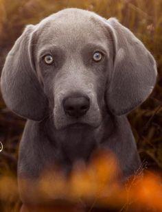 Jasmin Kiba Nitezki   Weimaraner Puppy Dog Weimaraner Puppies, Dogs And Puppies, Bengal, Labrador Retriever, Animals, Labrador Retrievers, Flare, Animales, Animaux