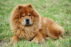 Chow Chow The chow chow looks kind and fluffy but this is not a cuddly breed. They were bred to be Chinese fighting dogs and their teeth are razor sharp. Sometimes obedience school can't even tame this wild breed. Perros Chow Chow, Chow Chow Dogs, African American Makeup, Dangerous Dogs, Lion Dog, Toddler Girl Style, Toddler Girls, Yoga At Home, Pet Insurance