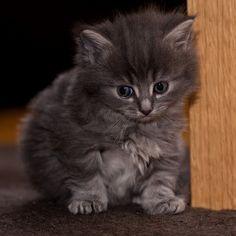 cute little gray kitten