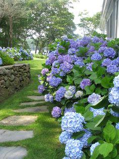 Blue hydrangea beauty