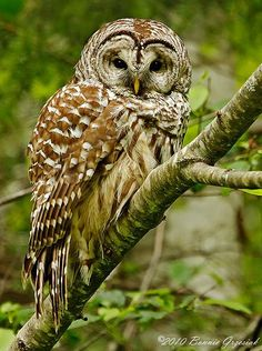 I really like Owls, they're so cute and look so wise! My headteacher at Primary school used to collect owl ornaments.