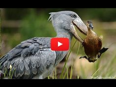 Amazing Facts About The Shoebill Stork - YouTube
