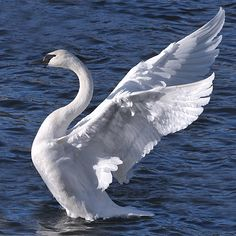 Trumpeter swan - they don't call it Swan Valley for nothing. Beautiful Swan, Beautiful Birds, Beautiful Pictures, Swan Wings, Angel Wings, Trumpeter Swan, Mundo Animal, Bird Drawings, Swan Lake
