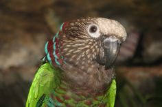 Red-fan Parrot (Deroptyus accipitrinus) also known as the Hawk-headed Parrot.