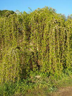9 de abril de 2014. Morera péndula. April 9, 2014. Mulberry tree. Extremadura.
