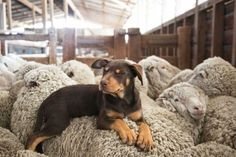 Australian Kelpie and his woolly friends. Australian Cattle Dog, Australian Shepherds, Australian Animals, German Shepherds, Animals And Pets, Funny Animals, Cute Animals, Funny Dogs, Cute Dogs
