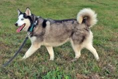 Check out the NEW INTAKES at #Siberian #Husky #Rescue of #Florida: http://www.siberrescue.com/doghouseaccept_new_intakes.htm We have beautiful #Siberian #Huskies, like SKY III, Sasha and Shadow for #adoption in #Florida.