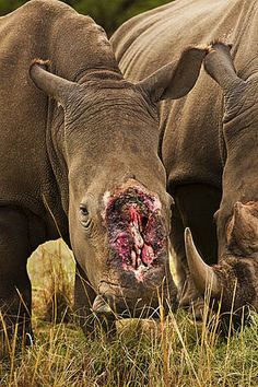 This is a image of a Rhino that  survived a brutal dehorning by poachers