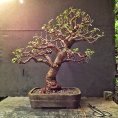"Here's a tree: It needs trimming, wiring and repotting. Portulacaria afra, Latin meaning ""leaves like a portulaca"" (which is known as purslane and moss rose) and ""african&#8…"