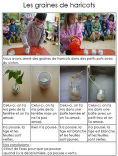 Ecole maternelle LEO LAGRANGE - Des haricots observations des élèves concernant les plantations