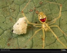 Theridion grallator - the happy faced spider.