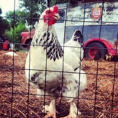 Lone Star Chicken #CaptureTX