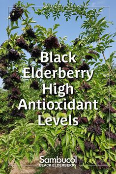 Black Elderberry High Antioxidant Levels - Black Elderberries have an extremely high concentration of certain flavonoids called anthocyanins w - Sambucol Black Elderberry, Elderberry Plant, Elderberry Benefits, Immune System Vitamins, Zombie Apocalypse Survival, Gothic Garden, Immune System Boosters, Deep Purple Color, Survival Shelter