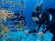 Bonaire coral restoration diving. Attaching the baby coral to the tree in Bonaire.