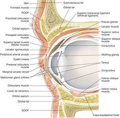 Anatomy Of Eye Lid Gallery - Learn Human Anatomy Image Facial Anatomy, Eye Anatomy, Human Anatomy, Anatomy Images, Facial Rejuvenation, Medical Anatomy, Septum, Muscle, Fat