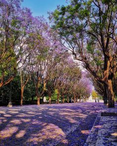 These Jacaranda trees in bloom are something special 💜 If you visit Athens in May or June, you'll land in a fairytale. Jacaranda Trees, Something Special, Ely, Travel Couple, Athens, Fairytale, Places To Visit, Sidewalk, June