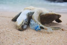 """EXTINCTION approaching: Glowing """"blue tears"""" in China's seas are TOXIC and steadily growing every year, warn scientists Three Gorges Dam, Plymouth University, University Of South Florida, Ocean Pollution, Marine Conservation, Marine Life, Beautiful Creatures, Mammals, Turtle"""