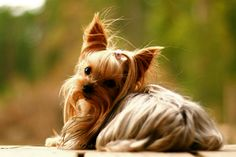 Yorkshire Terrier – Energetic and Affectionate Yorkies, Yorkie Puppy, New Puppy, Chihuahua, Yorshire Terrier, Silky Terrier, Schnauzers, Baby Puppies, Cute Puppies