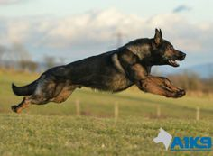 #A1K9 #FamilyProtectionDog Chico #flyinghigh. German, Dogs, Animals, Deutsch, Animales, German Language, Animaux, Pet Dogs, Doggies
