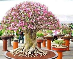 Learn how to make a Bonsai tree by yourself. We explain How to care, Cultivate and Maintain your Bonsai tree, Step-by-step guides with an easy understand. Ikebana, Ficus Bonsai, Bonsai Garden, Bonsai Trees, Pine Bonsai, Plantas Bonsai, Bonsai For Beginners, Miniature Trees, Desert Rose