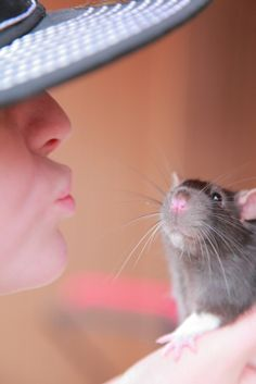 Trying to convince my hubby that we need a Rat!  Love them!  Great Great Great pets!