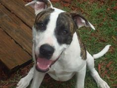 Zeke - Zeke was born in Dec 2008 he is a Bull Terrier Mix. Loves to play fetch and tug of war. Gets along great with other dogs. Knows when it is time to play and when it is time to relax. Loves the beach. Fenced yard required.  (http://wwpetrescue.org/pet/zeke/)