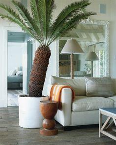 cycas revoluta sago palm - house of plants | tanaman eksotis, Wohnzimmer