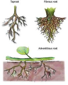 Science plants draw and describe fibrous and tap roots i would tap roots and fibrous roots explained ccuart Gallery