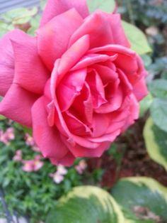 Smokey Rose-My Own Secret Garden♡