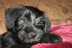 Bentley one of our first puppies.