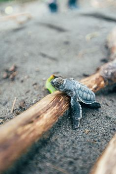 Baby Sea Turtles Are Cuter Than You Could Have Ever Imagined                                                                                                                                                                                 More