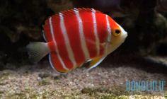 A stunning Peppermint angel (Paracentropyge boylei) has recently gone on display at Waikiki Aquarium in Honolulu, Hawaii.
