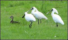Royal Spoonbill. Northern NSW 2005. A Pacific Duck is infront of them.
