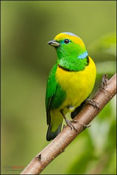 The Golden-browed Chlorophonia (Chlorophonia callophrys) is a species of bird in the Fringillidae family. It is found in Costa Rica and Panama. Kinds Of Birds, All Birds, Little Birds, Love Birds, Beautiful Creatures, Animals Beautiful, Cute Animals, Most Beautiful Birds, Pretty Birds