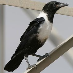 Pied Crow, Hermanus, South Africa South African Birds, Bird Aviary, Jackdaw, Crows Ravens, Backyard Birds, African Animals, Colorful Birds, Bird Species, Wild Birds