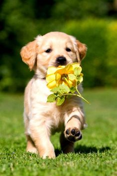 Pet Dogs, Dogs And Puppies, Dog Cat, Doggies, Labrador Puppies, Corgi Puppies, Puppies Cute, Beagle, Chihuahua