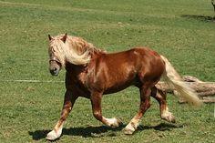 Noriker stallion Tornado Vulkan XVI Draft Horse Breeds, Draft Horses, Beautiful Horses, Big And Beautiful, Noriker Horse, Suffolk Punch, Indian Horses, Cowboy Girl, Clydesdale