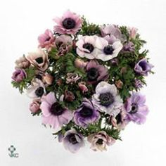 Anemones Galil Pastel is a beautiful lilac variety. Available in wholesale wraps of 50 stems.