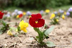 Winter Flowers, Pansies, Plants, Plant, Violets, Planting, Planets