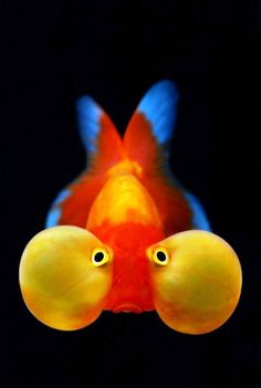 The Bubble Eye is a small variety of fancy goldfish with upward pointing eyes that are accompanied by two large fluid-filled sacs. An aquarium fish. Underwater Creatures, Underwater Life, Ocean Creatures, Beautiful Sea Creatures, Animals Beautiful, Colorful Fish, Tropical Fish, Poisson Rouge Oranda, Bubble Eye Goldfish