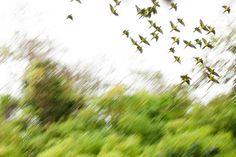 parrots_flight.jpg