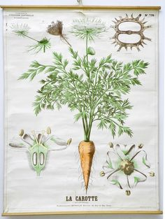 Vintage Botanical Carrot Poster, Deyrolle, Paris, via metroart: Daucus carota, the wild carrot, is a biennial whose flower is known as Queen Ann's Lace. #Illustration #Carrot #Queen_Ann's_Lace